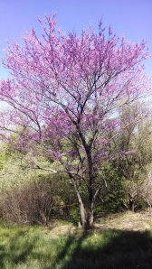 Purple is the color of passion/suffering and the color of a beautiful flowering Red Bud tree.