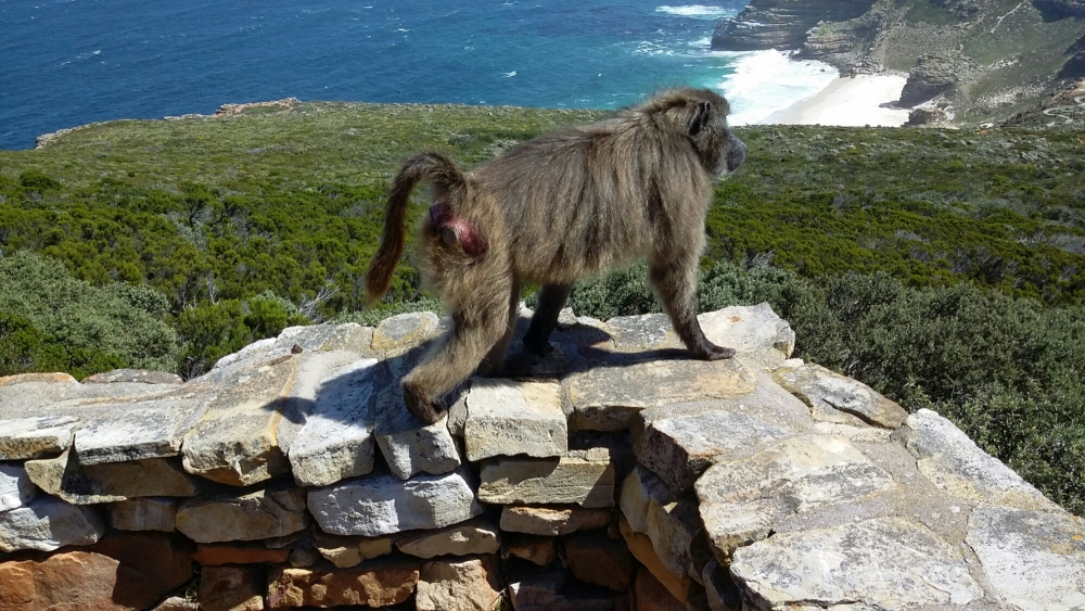 Bloom Where You're Planted- Cape of Good Hope Baboons (3/6)