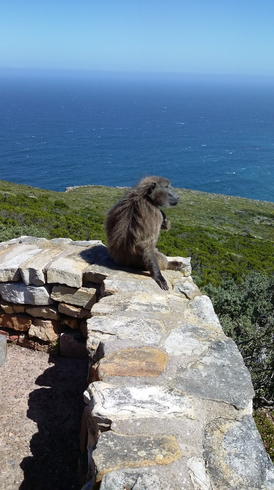 Bloom Where You're Planted- Cape of Good Hope Baboons (4/6)
